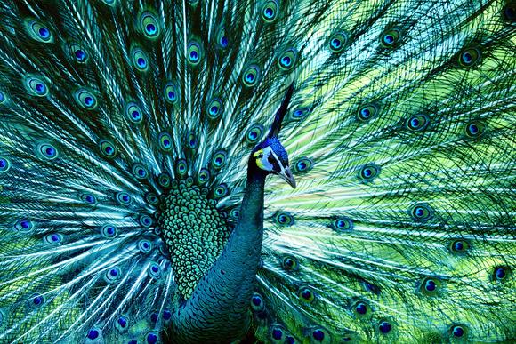 Kërkuesit imitojnë bishtin e fazanit për e-lexues me ngjyra më të gjalla